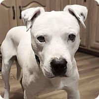 Adopt A Pet :: Hogan - Chattanooga, TN