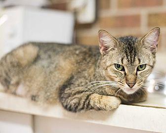 Domestic Shorthair Kitten for adoption in Houston, Texas - Chipmunk