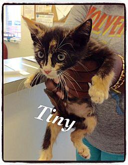 Domestic Shorthair Kitten for adoption in Dillon, South Carolina - Tiny
