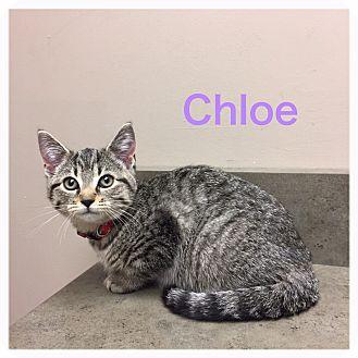 Domestic Shorthair Kitten for adoption in Woodstock, Ontario - Chloe