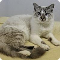 Adopt A Pet :: Pasha - Fountain Hills, AZ