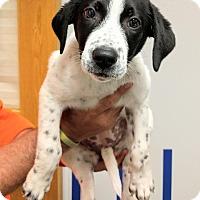 Adopt A Pet :: Brianne - Ottawa, KS