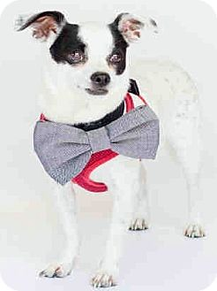 Chihuahua Mix Dog for adoption in Orlando, Florida - Batman