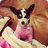 Adopt A Pet :: Tinkerbell - Los Angeles, CA