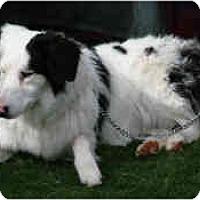 Adopt A Pet :: Nola - Mesa, AZ