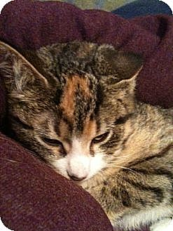 Domestic Mediumhair Cat for adoption in Milwaukee, Wisconsin - Hickory