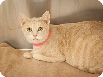 Domestic Shorthair Cat for adoption in Dallas, Texas - Guerrita