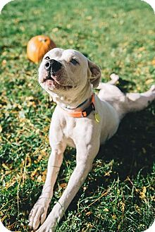American Bulldog/Boxer Mix Dog for adoption in Cleveland, Ohio - Pie