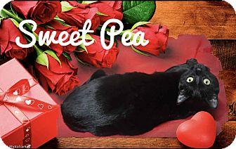 Domestic Shorthair Kitten for adoption in Davison, Michigan - Sweet Pea