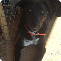 Adopt A Pet :: Treble - Shelby, NC