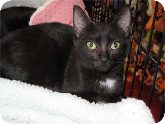 Domestic Shorthair Kitten for adoption in Port Republic, Maryland - Gilly