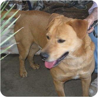 Labrador Retriever Mix Dog for adoption in Sun Valley, California - Cooper