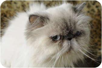 Himalayan Cat for adoption in Columbus, Ohio - Isabella 2