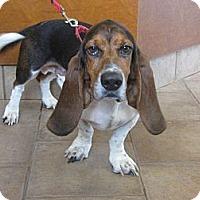 Adopt A Pet :: Petey Pawford - Barrington, IL