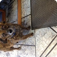 Adopt A Pet :: Rikki - Phoenix, AZ