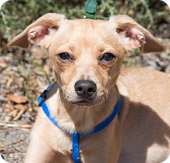 Italian Greyhound/Chihuahua Mix Dog for adoption in Corrales, New Mexico - Brandon