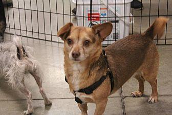 Pomeranian/Chihuahua Mix Dog for adoption in Rosamond, California - Big Bear