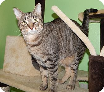 Domestic Shorthair Cat for adoption in Plano, Texas - DUDE - OS'D IN PILLOWCASE