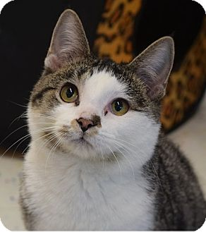 Domestic Shorthair Cat for adoption in Hillside, Illinois - Squiggy-KIND, GENTLE-11 MONTHS