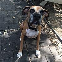Boxer Dog for adoption in Austin, Texas - Hickory