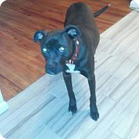 Labrador Retriever/Greyhound Mix Dog for adoption in Minneapolis, Minnesota - Darwin