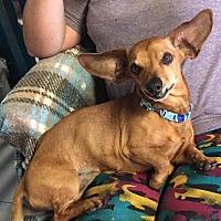 Adopt A Pet :: Ezra - York, SC
