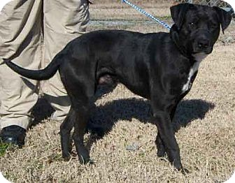 Labrador Retriever Mix Dog for adoption in Byhalia, Mississippi - Zach