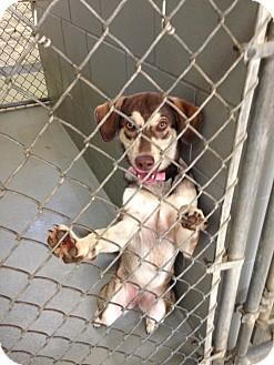 Husky/Labrador Retriever Mix Dog for adoption in Fort Riley, Kansas - Ellie