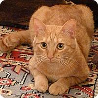 Adopt A Pet :: Marmalade - Bedford, MA
