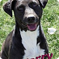 Adopt A Pet :: Starry - Midland, TX
