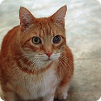 Domestic Shorthair Cat for adoption in St. Louis, Missouri - Julius