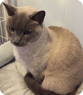 Domestic Shorthair Cat for adoption in Buchanan, Tennessee - Lila