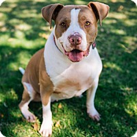 Pit Bull Terrier Dog for adoption in Chino Hills, California - Dana - in Foster Care
