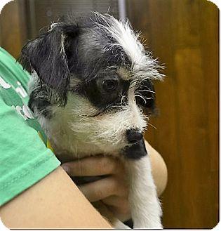 Chihuahua Mix Puppy for adoption in Tavares, Florida - Apollo
