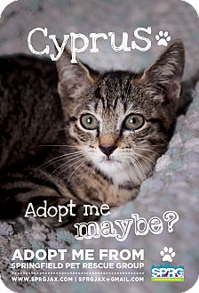 Domestic Shorthair Kitten for adoption in Jacksonville, Florida - Cyprus