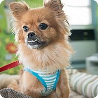 Adopt A Pet :: Haley - New York, NY