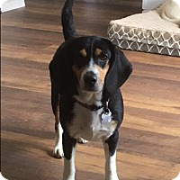 Adopt A Pet :: Tully - Bellingham, WA