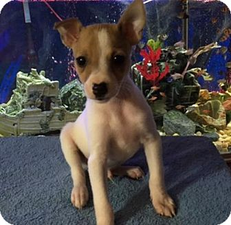 Jack Russell Terrier/Rat Terrier Mix Puppy for adoption in Hillsboro, Missouri - Fred