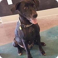 Adopt A Pet :: Sheba - Belle Chasse, LA