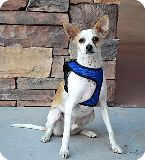 Spaniel (Unknown Type)/Chihuahua Mix Dog for adoption in Chandler, Arizona - Gryffon