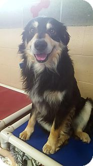 Border Collie/Australian Shepherd Mix Dog for adoption in Yreka, California - Otis