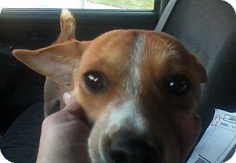 Basenji/Chihuahua Mix Dog for adoption in San Diego, California - Trooper URGENT