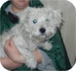Westie, West Highland White Terrier/Maltese Mix Dog for adoption in Antioch, Illinois - Lefty ADOPTED!!