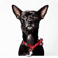 Adopt A Pet :: Murphy - New York, NY