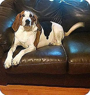 Treeing Walker Coonhound Dog for adoption in Battleboro, Vermont - Banjo-The Smiling Hound