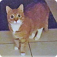 Domestic Shorthair Cat for adoption in Whiting, Indiana - Simba