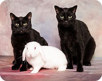 Domestic Shorthair Kitten for adoption in Albemarle, North Carolina - Benjamin Franklin