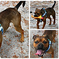 Adopt A Pet :: Joey - Forked River, NJ