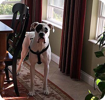 Boxer Dog for adoption in Dayton, Ohio - Patch Adams