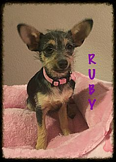Yorkie, Yorkshire Terrier/Terrier (Unknown Type, Small) Mix Puppy for adoption in Tempe, Arizona - Ruby